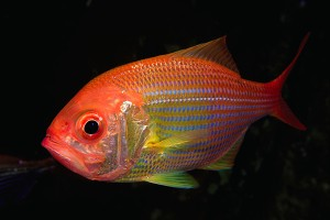 golden_snapper_02_4